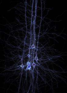Digital reconstruction of pyramidal cells