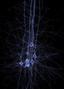 Digital reconstruction of pyramidal cells