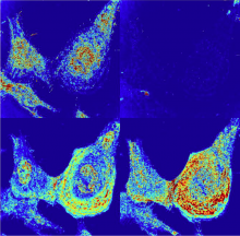 Alterations of the nanoscale structure of live HeLa cells after chemical fixation, as observed using partial wave spectroscopic (PWS) optical microscopy. Chemical fixation appears to alter the cellular nanoscale structure in addition to terminating its macromolecular remodeling. These changes could not be detected using traditional modes of optical microscopy, being far smaller than the diffraction limit of visible light.