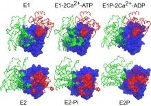 Interaction of cytoplasmic domains in the calcium pump of sarscoplasmic reticulum