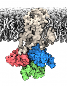 Membrane bound structure of the Sarcoplasmic reticulum calcium pump