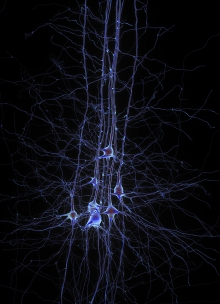 Digital reconstruction of pyramidal cells from the Blue Brain Project